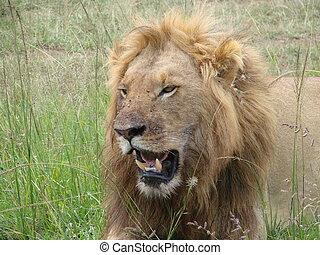 Lion roaring in the Massai Mara