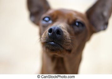casta, perro,  Pincher