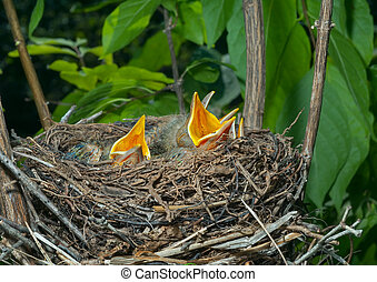 Nest of thrush 12 - A close up of the nest of thrush with...