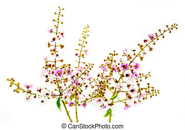 White and pink of Cananga flower.