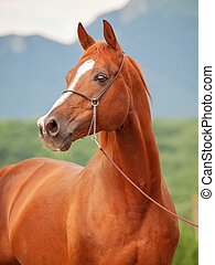 portrait of beautiful sorrel arabian stallion - portrait of...