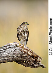 Sparrowhawk, Accipiter nisus, single bird on branch,...