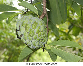 Srikaya fruit, Annona squamosa, growing on tree, Indonesia,...