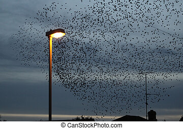 Starling, Sturnus vulgaris, large evening roost with street...