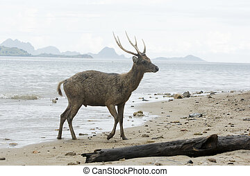 Timor or Rusa deer, Cervus timorensis, single animal on...