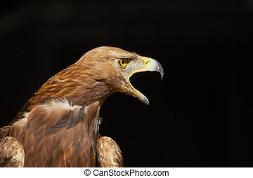 Golden Eagle on black background - copy space