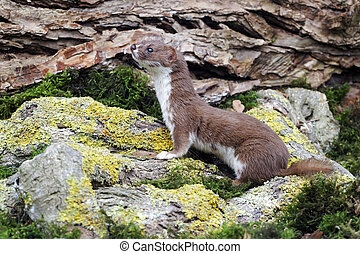 Weasel, Mustela nivalis, single mammal, captive, Midlands,...