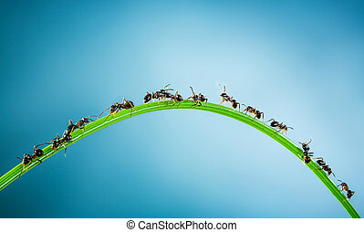 Team of ants. - Team of ants running around the curved green...