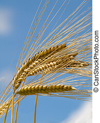 Golden wheat field - Golden wheat at spring under blue sky...