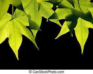 Green leaves - Liquidambar green leaves at spring on black...