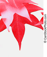 Red leaves - Beautiful Liquidambar red leaves isolated on...
