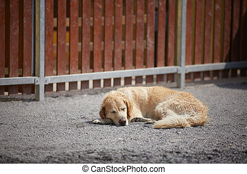 Sleeping dog - Beagle is sleeping in front of the fence -...