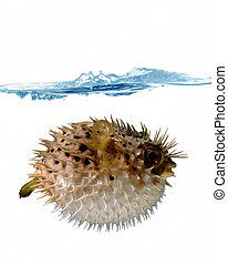 blown up blowfish - angry blowfish with a stream of water on...