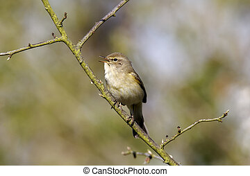 Chiffchaff, Phylloscopus collybita, Single bird singing on...
