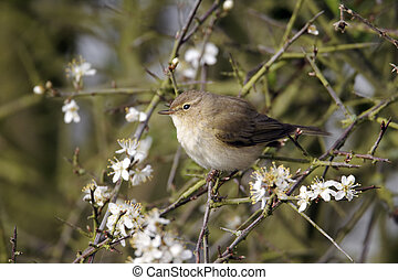 Chiffchaff, Phylloscopus collybita, single bird on blossom...