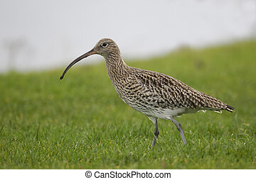Curlew, Numenius arquata, single bird by water, Highlands,...