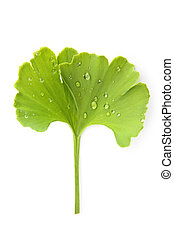 Ginkgo leaf with dew - Fresh green ginkgo biloba leaf with...