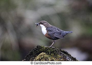 Dipper, Cinclus cinclus, single bird on rock, Powys, Wales,...