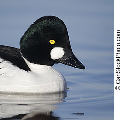 Goldeneye, Bucephala clangula, single male on icy water,...