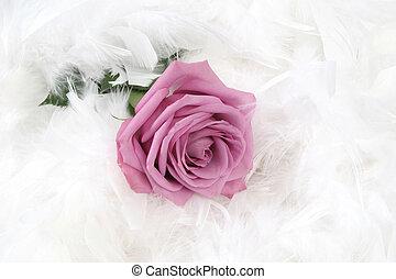 Rose - Pink rose with white background, taken closeup