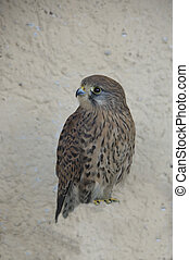 Peregrine Falcon perched on concrete structure