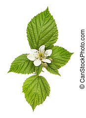 Blackberry flower - Flower and foliage of a blackberry bush...
