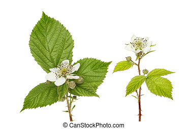 Blackberry flowers - Blackberrybush, Rubus fruticosa...
