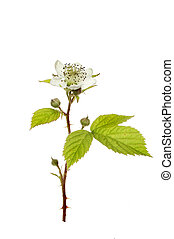 Bramble flower - Blackberry bush flower Rubus fruticosa,...