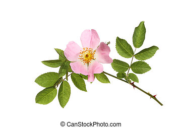 Dog rose, Rosa canina, flower and leaves isolated against...