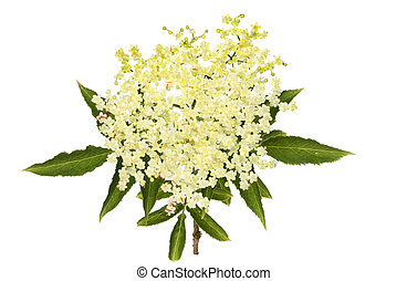 Elderflower - Elder berry, Sambucus, flowers and foliage...