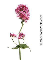 Red Valerian - Red valerian, Centranthus ruber, flowers and...