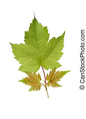 Sycamore leaves - Fresh spring sycamore leaves isolated...