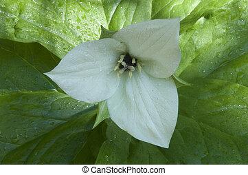 Trillium - White Trillium flower