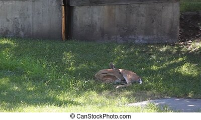 Whitetail Doe Cleaning Its Self - This Whitetail Dow woke up...