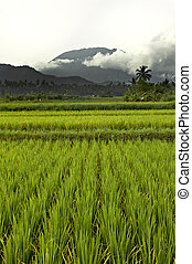 Flat paddy rice field on Bali with mountains and heavy clouds in the background