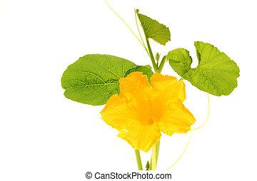 abóbora, flor