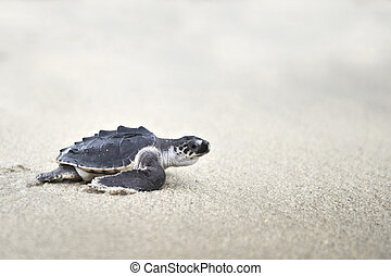 Young Olive ridley (Lepidochelys olivacea) crawling on a...