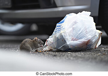 A rat eating from a garbage bag