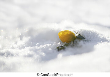 Winter aconite Eranthis hyemalis popping up from the snow...
