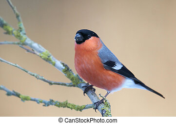 Common Bullfinch Pyrrhula pyrrhula perched on a branch -...