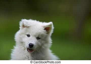 Portrait of a samoyed dog puppy