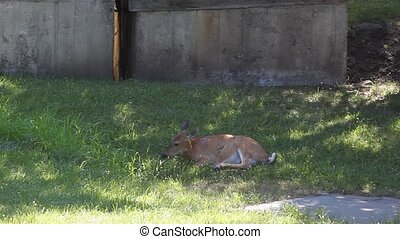 Whitetail Doe Waking Up - This Whitetail doe is waking up...