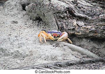 Crab in Tayrona forest - Crab in the forest close to the...