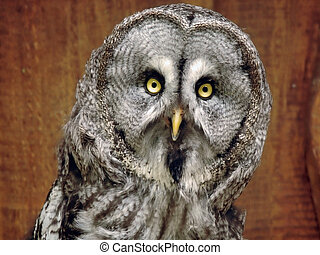 Funny looking Great Grey owl - Aged Great Grey owl, staring...