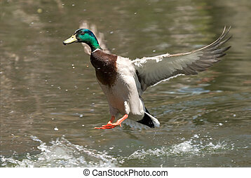 Duck landing on water - Mallard duck with spread wings...
