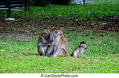 Family of three macaque monkeys - Three macaque monkeys seen...