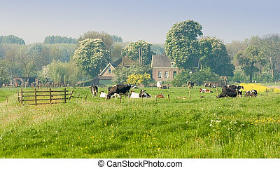 Dutch farm with cows on april morning