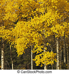 Aspen trees in fall color - Aspen trees in yellow fall color...