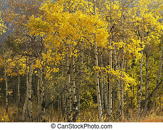 Aspen trees in fall color. - Aspen trees in yellow fall...