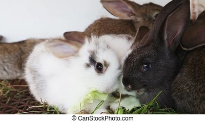 Rabbit family feeding cabbage leave